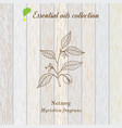 pure essential oil collection nutmeg wooden vector image vector image