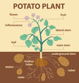 potato plant vector image vector image