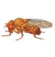 Drosophila melanogaster Fruit Fly vector image