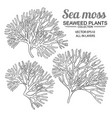 sea moss plants set on white background vector image