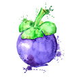 Watercolor of isolated mangosteen fruit vector image