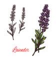 lavender seasoning sketch plant icon vector image vector image