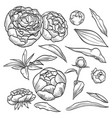 hand drawn elegant peony vector image vector image