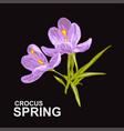 spring crocus flowers vector image