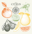 vintage citrus fruits collection vector image vector image