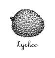 ink sketch lychee fruits vector image