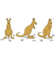 wallabies vector image