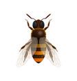 honey bee isolated icon vector image