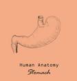 handdrawn human stomach vector image vector image