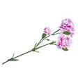 white pink carnation flower on green stalk bouquet vector image vector image