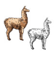 alpaca or llama sketch south america wild animal vector image