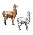 alpaca or llama sketch south america wild animal