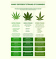 many different strains cannabis infographic vector image vector image
