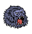 ferocious gorilla head colorful template vector image vector image