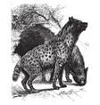 Hyenas vintage vector image