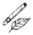 cigar and tobacco leaf engraving vector image vector image