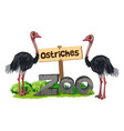 ostriches at the zoo vector image vector image