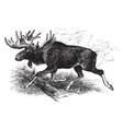 american moose vintage vector image vector image