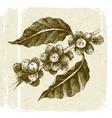 hand drawn coffee tree branch vector image vector image