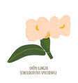 crepe ginger tropical flower vector image vector image
