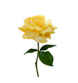 beautiful yellow rose isolated on white backgroun vector image vector image