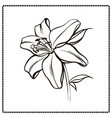 lily flower close-up vector image vector image