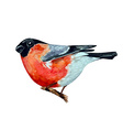 watercolor painting bullfinch on branch vector image vector image