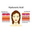 with hyaluronic acid in skin vector image vector image