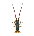 Spiny rock lobster - Panulirus vector image