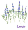 lavender flowers drawing medicinal plant vector image