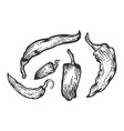 peppers sketch engraving vector image vector image