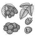 raspberry hand drawn sketch farm berry fruits vector image