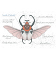 hand-drawn goliath beetle with skull wings vector image