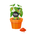 chile plant in pot and powder vector image vector image