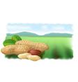 peanuts vector image vector image