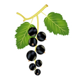 ripe currant vector image vector image