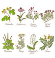 colored set of medicinal plants in hand-drawn vector image vector image