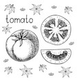 Hand drawn sketch of fresh juicy tomato