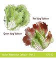 watercolor red and green leaf lettuce vector image