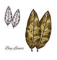 bay leaf sketch for spice or seasoning design vector image vector image