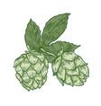 botanical drawing of green fresh organic hop vector image vector image