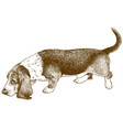 engraving basset hound vector image