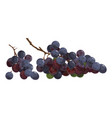 cartoon grapes fresh vitamin fruit juicy and vector image