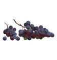cartoon grapes fresh vitamin fruit juicy vector image