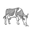 sketch spotted cow eating grass sketch dairy vector image
