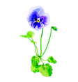 Summer pansy vector image vector image