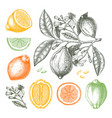 ink hand drawn citrus fruits collection lemon vector image vector image