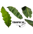 tropical banana palm leaves vector image vector image