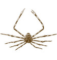 engraving japanese spider crab vector image