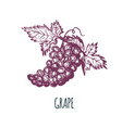 hand drawn grape bunch on white background vector image vector image